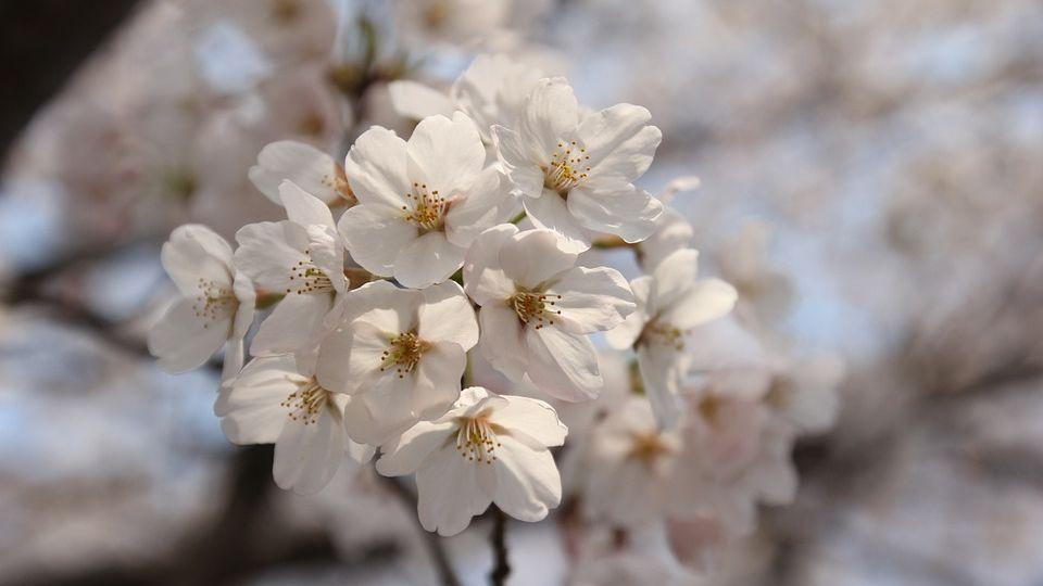 Festival dei fiori di ciliegio