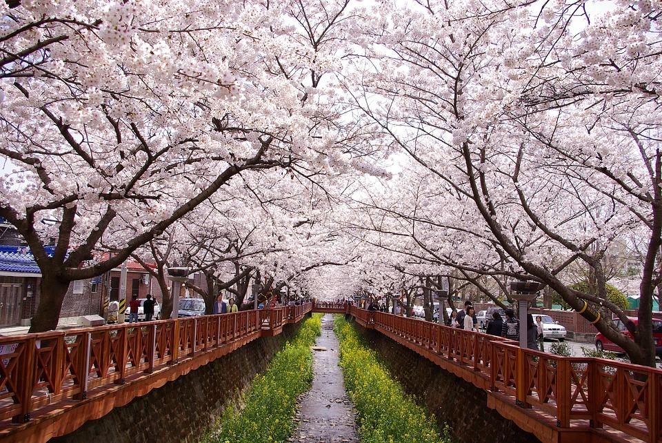 Fiori di ciliegio in Corea del Sud
